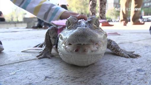 超特別寵物!大學正妹養鱷魚共枕 訣竅「就像跟人相處」 | 生活 | 三立新聞網 SETN.COM