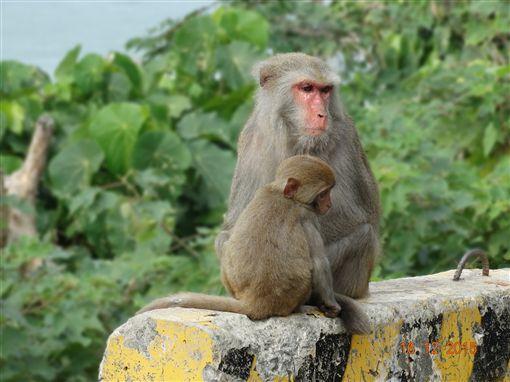 臺灣獼猴成長近30萬隻 農委會拍板獼猴降為一般動物 | 生活 | 三立新聞網 SETN.COM