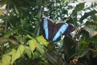 Common blue morpho (Morpho helenor)