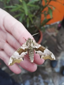 The lime hawk-moth (Mimas tiliae)