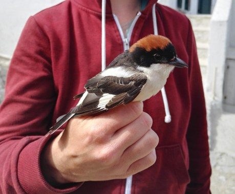 Woodchat shrike, which started gnawing Herta's fingers open right after taking this foto. Otherwise these are one of my favourite species!