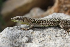 These lizards in Ponza have sometimes green neck which is untypical for this species