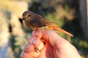 Female redstart (Phoenicurus phoenicurus)