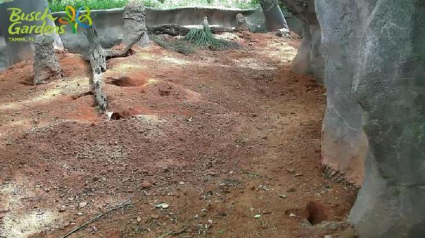 AnimalVision meerkat cam Busch Gardens Tampa