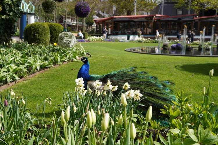 peacocks at tivoli