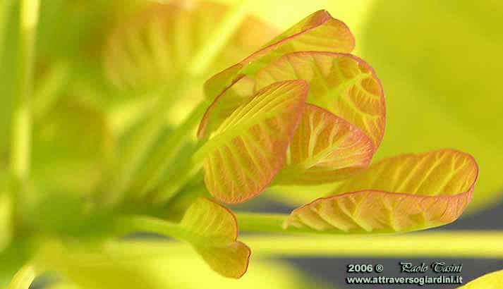 Cotinus Golden Spirit