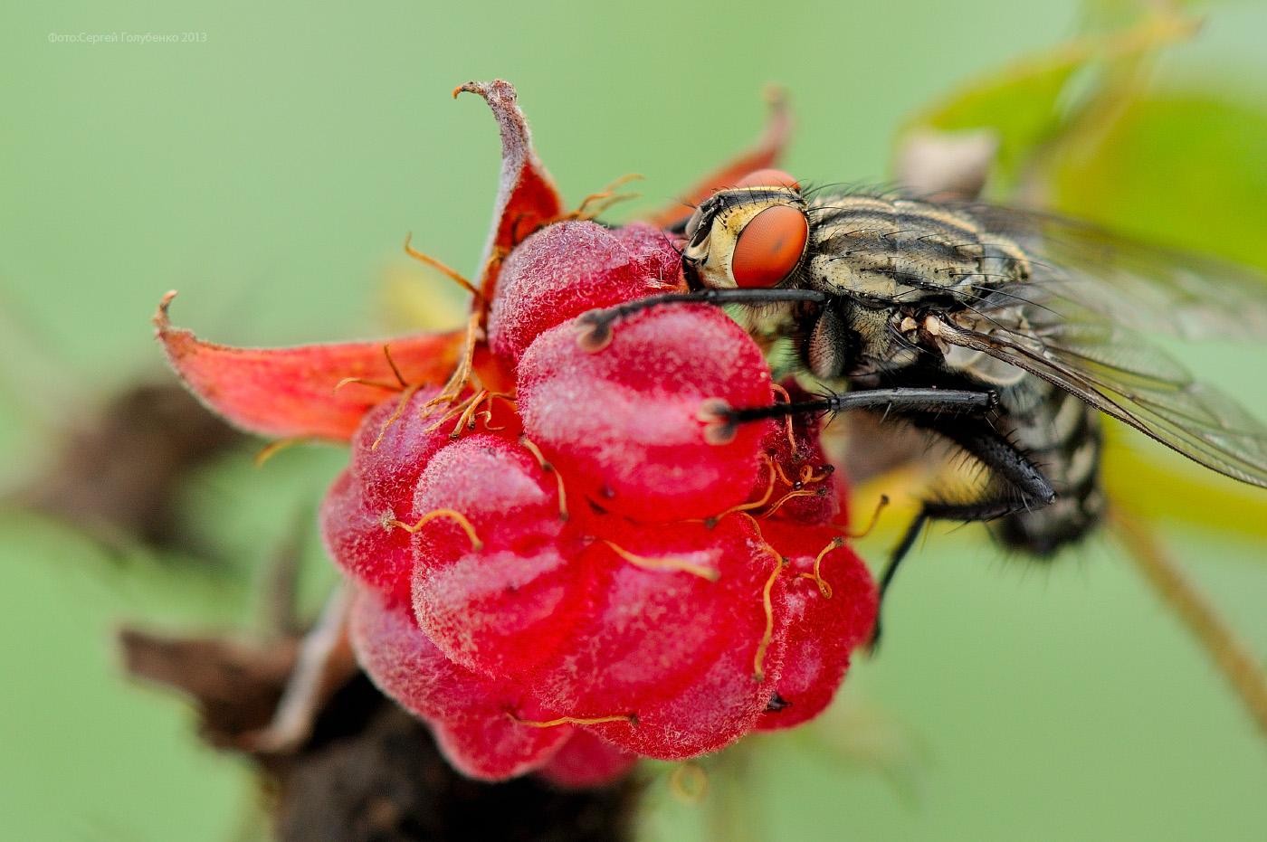 cum funcționează viziunea muștelor