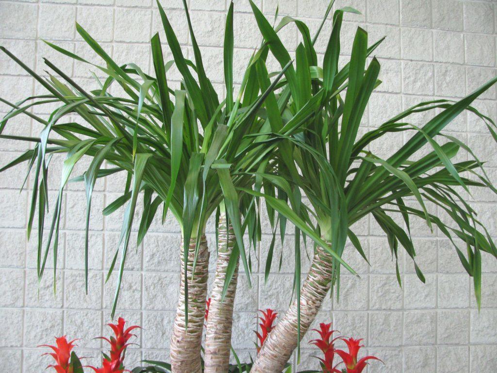 нашего виды пальмы юкка с фото расположено много интересных