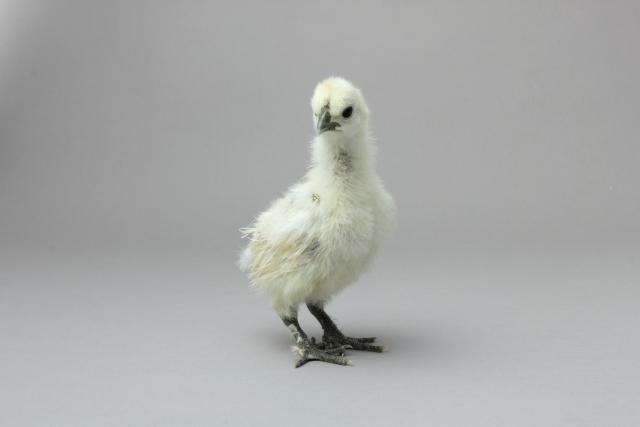 烏骨鶏の卵を食べてみようじゃないか! その③ 幼雛28日齢まで。(室内飼育編)