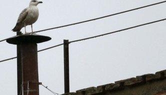 Conclave Seagull like #2GGCP