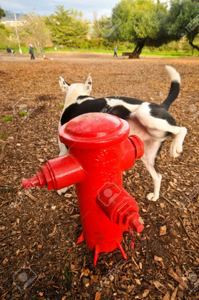 6488572-A-dog-pees-on-a-fire-hydrant-in-a-park-Stock-Photo-dog