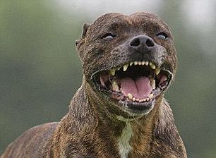 pitbull lady