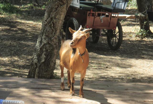 L'estagnol. Little Goat that liked me.