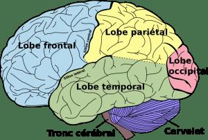 Lobes du cerveau