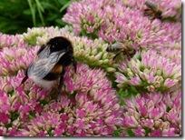 Bourdons et abeilles