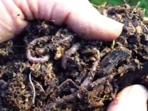 Vers de terre dans une butte auto-fertile par Jenny Gloster du blog Le jardin de Jenny