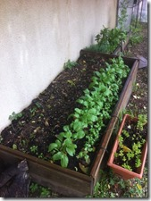Semis de radis échelonné