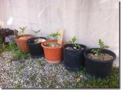 plantation en pot