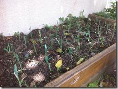 Monocotylédones poireaux