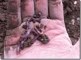 importance des vers de terre au potager