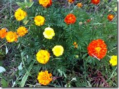 fleurs au potager