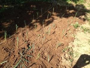 repiquage des poireaux en permaculture