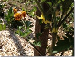 fleurs de tomates et jardin bio