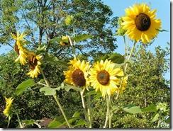 fleur aux jardins partagés