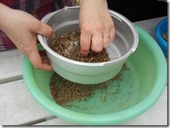 récupération de graines au potager