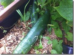Cultiver le concombre au potager