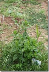 plantation de menthe