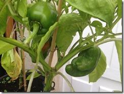 cultiver les poivrons