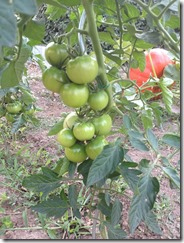 arrosage des tomates lors de la production