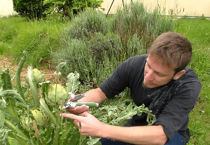 récolte d'artichaut au potager