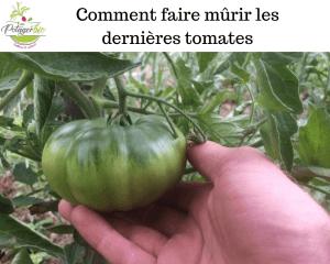 Comment faire mûrir les dernières tomates vertes
