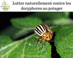 Lutter naturellement contre les doryphores au potager