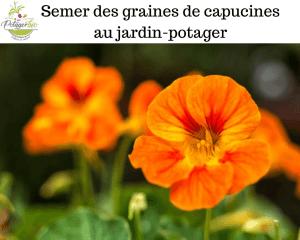 Semer des graines de capucines au jardin-potager