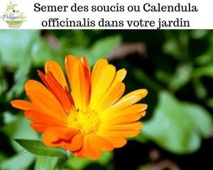 Semer des soucis ou Calendula officinalis dans votre jardin
