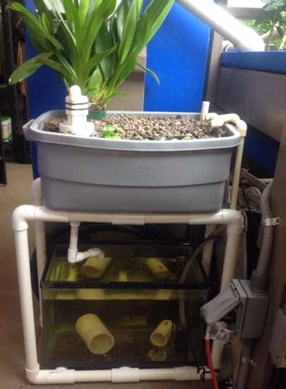 An example of a basic aquaponics system that would cost about $50 to set up