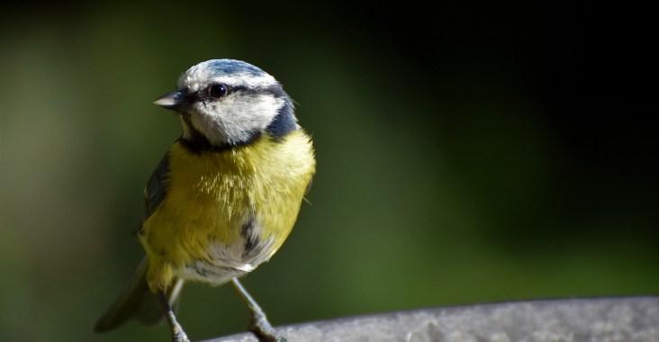 oiseaux comptage lpo mésange