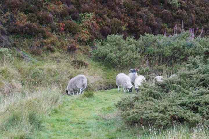 cairngorms parc Ecosse voyage moutons Glenlivet Estate domaine tourisme montagnes road trip