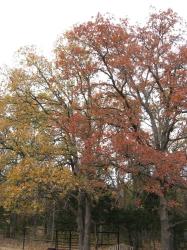About Us — Oak trees