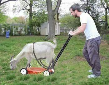 Goat lawn mower, mow your lawn, city of auburn