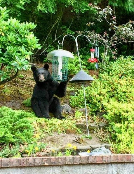 bear, lea hill bear, auburn bear, black bear, wa black bear,