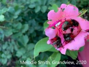 Destructive Japanese beetles eating a pink flower