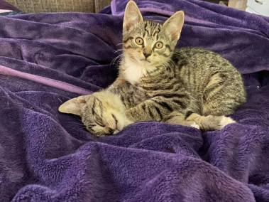 Two tabby kittens play, one innocently looking up as it pins the other down