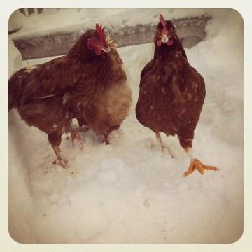 Poules-Hivers