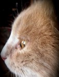 O'MALLEY, CHAT ANGORA À ADOPTER