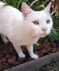 Chat blanc aux yeux vert très clair