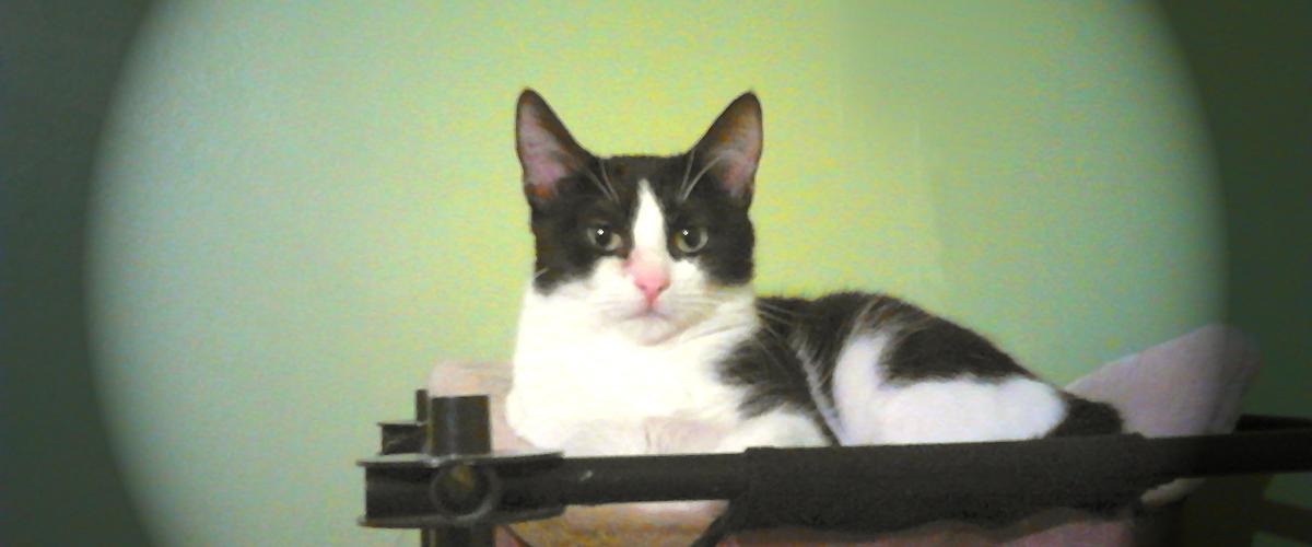 Chatte noire et blanche à l'adoption, style Félix le chat